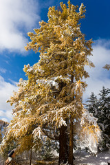 larch under a snowfall