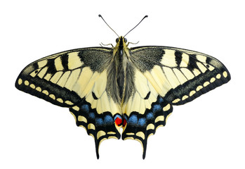 Swallowtail, isolated