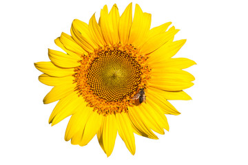 insulated yellow sunflower