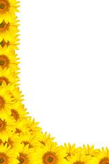 Yellow sunflower flowers