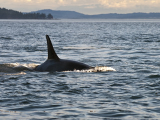 Orca Whale Dorsal Fin