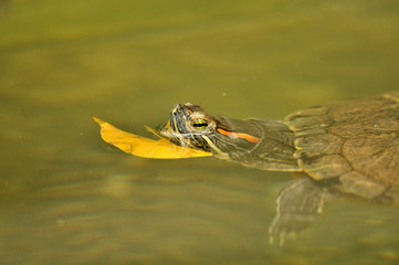 turtle and leaves