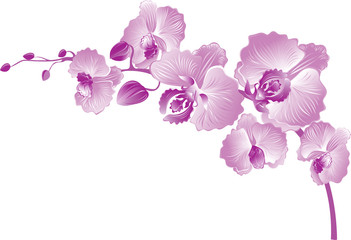 Vectr illustration of purple orchid.