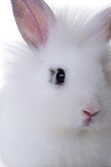 Head of white rabbit.