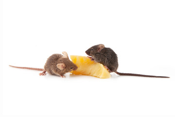 Mice and cheese