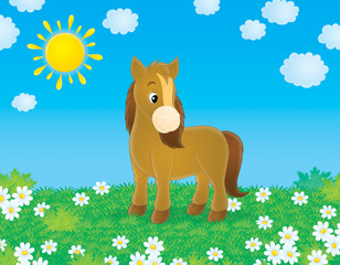 Poster Pony Brown pony walks in a field with chamomiles in sunny day