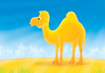 One-humped camel going in a hot desert