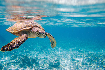 Photo sur Aluminium Tortue Hawksbill sea turtle