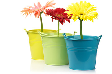Colorful buckets with gerberas
