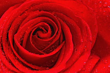 Red rose with water drops close-up