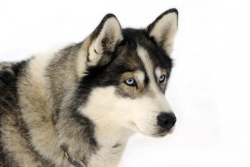 Husky sled dog Schlittenhund