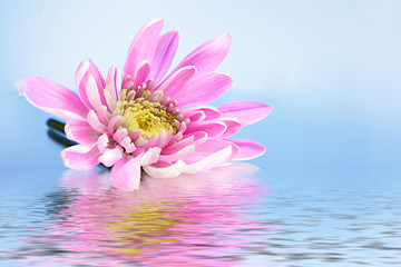 Pink fresh aster in water on blue background