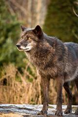 Wachsamer Wolf