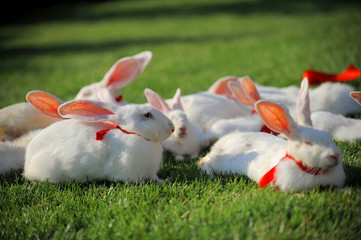 cute white rabbits sitting on grass