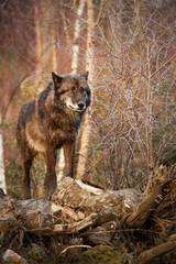 Wolf in seinem Revier