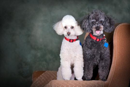 A Pair of Poodles Portrait