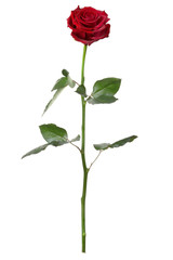 Single red rose isolated on white background