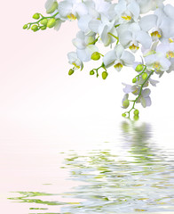 Beautiful white orchid flowers reflected in water