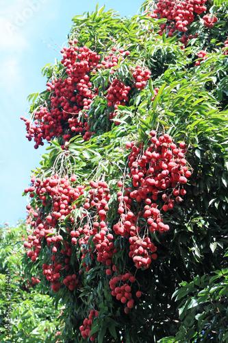 letchi arbre fruitier tropical exotique en pleine production photo libre de droits sur la. Black Bedroom Furniture Sets. Home Design Ideas