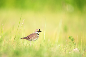 Little Ringed Plover standing on a grass in meadow. Charadrius d