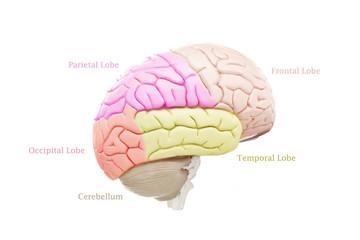 Human brain anatomy isolated on white background