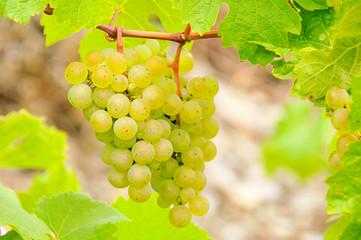 Weintraube weiss - grape white 12