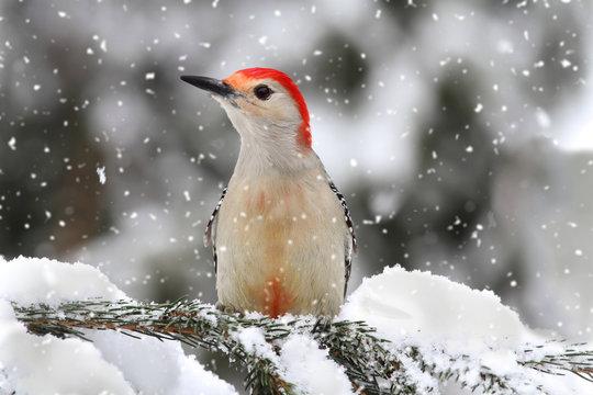 Woodpecker in snow