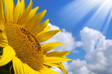 Sunflower over sunny sky background