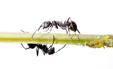 insect ant