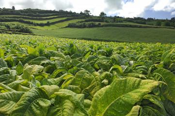 Tabakplantage auf Sao Miguel