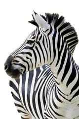 Foto op Canvas Zebra Grant's zebra (Equus quagga boehmi) isolated