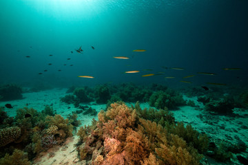 Cigar wrasses and tropical underwater life in the Red Sea.