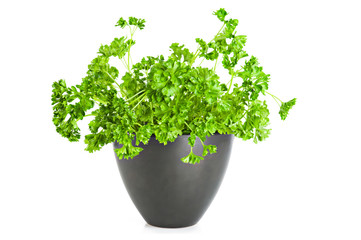 Fresh parsley growing in flower pot over white background