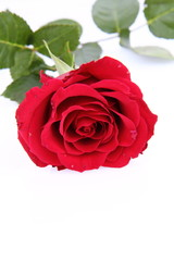 Red rose on white background with space text