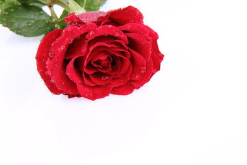 Red rose covered with drops of water on a white background