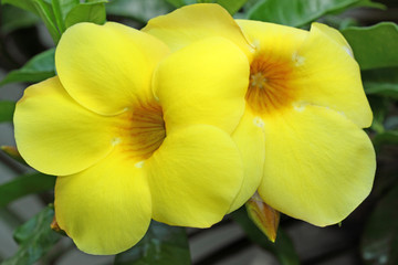 Search Photos Allamanda Cathartica
