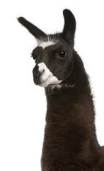 Fotorolgordijn Lama Llama, Lama glama, in front of white background