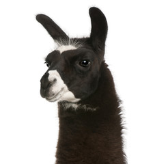 Foto op Canvas Lama Llama, Lama glama, in front of white background