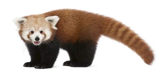 Zelfklevend Fotobehang Panda Young Red panda or Shining cat, Ailurus fulgens, 7 months old