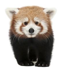 Tuinposter Panda Young Red panda or Shining cat, Ailurus fulgens, 7 months old