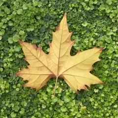 autumn maple leaf on green grass