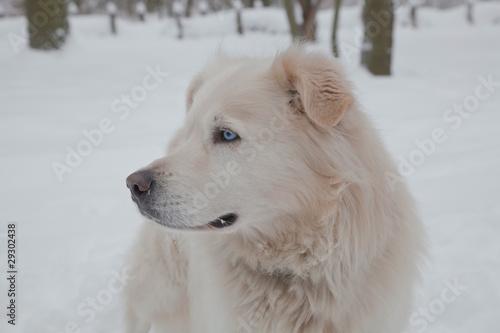 tier hund husky blaue augen stockfotos und lizenzfreie bilder auf bild 29302438. Black Bedroom Furniture Sets. Home Design Ideas