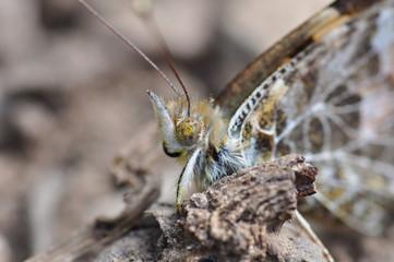 farfalla con polline