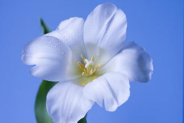 White flower isolated on blue