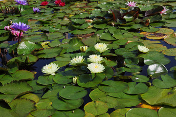 The flowering water lilies