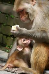 Macaque family in Kathmandu, Nepal