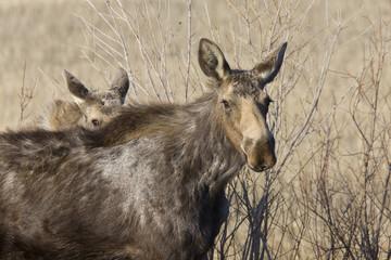 Moose Cow and Calf Saskatchewan Canada