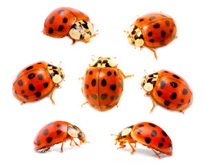 Ladybugs (Coccinella septempunctata) on a white background.