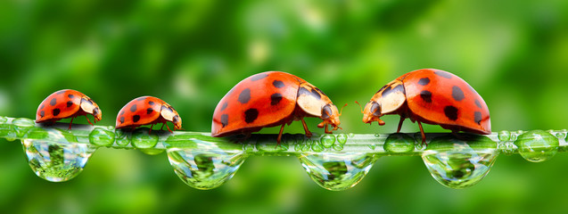Spoed Fotobehang Lieveheersbeestjes Ladybugs family on a grass bridge.