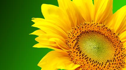 Sunflower on green background